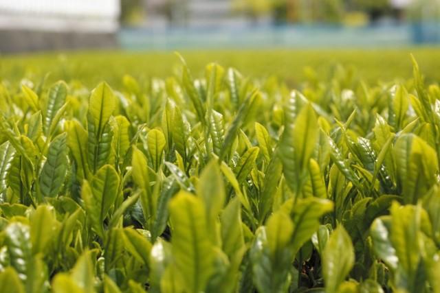 釜炒り茶の主要な産地