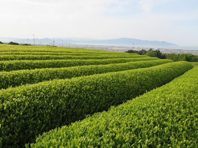 番茶の歴史について